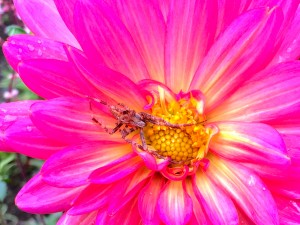 Cool spider drying off on a Dahlia